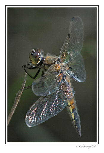 dragon-fly-6-copy.jpg