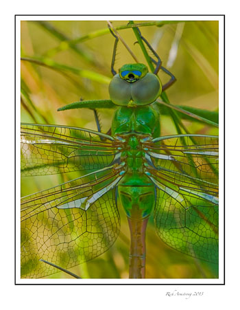 green-dragonfly-2-frm.jpg