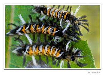 milkweedmothcaterpillar6frmcopy.jpg