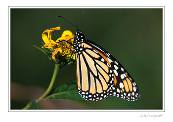 monarch-1-copy.jpg