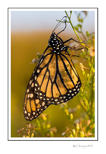 monarch-5-frm.jpg