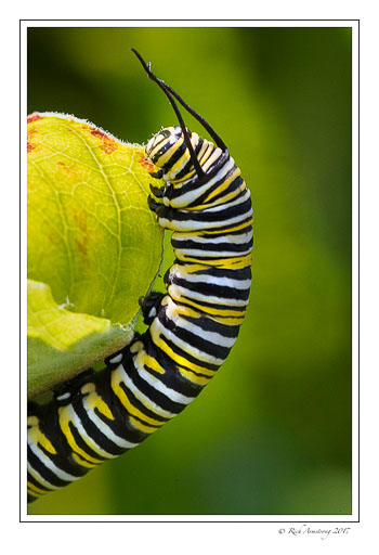 monarch-caterpillar-1-copy.jpg