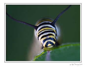 monarch-caterpillar-2w.jpg