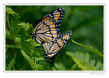 monarch-pair-copy.jpg