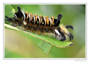 tussock-moth-caterpillar-1-copy.jpg