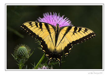 yellow-swallowtail-1-w.jpg