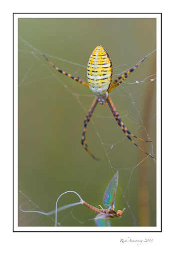 spider-fly-frm_.jpg