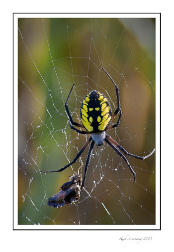 spider-yellow-3-frm.jpg