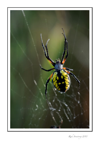 spider-yellow-4-frm.jpg