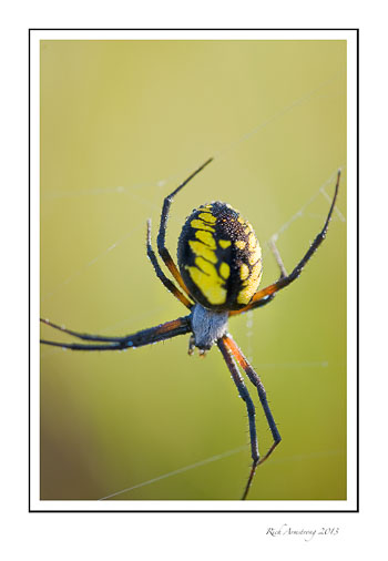 yellow-n-blk-spider-frm.jpg