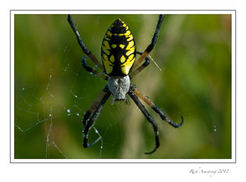 yellow-spider-1-frm.jpg
