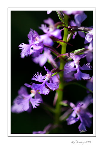 Purple-Fringed-Orchid-Ely-----01-frm.jpg
