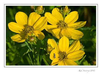 coreopsis-3-frm.jpg
