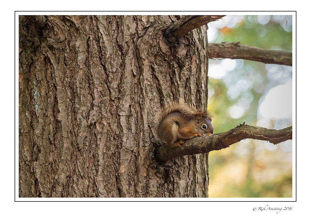 pine-squirrel-1-copy.jpg