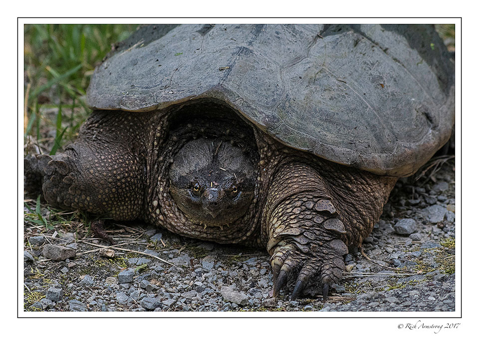snapping-turtle-1-copy.jpg