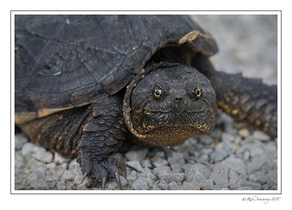 snapping-turtle-2-copy.jpg