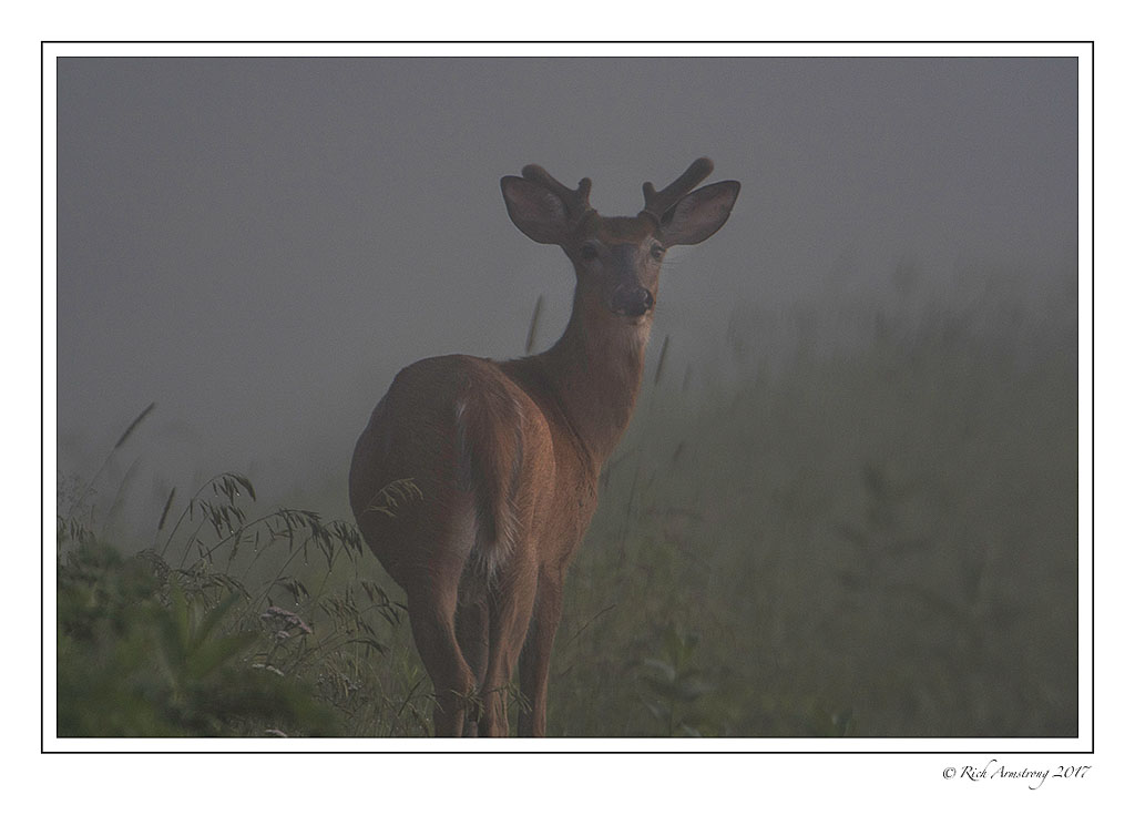white-tailed-deer-in-fog-copy.jpg